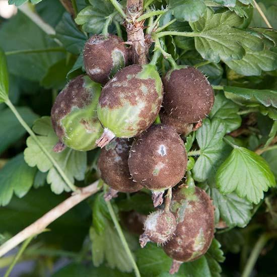 American Gooseberry Mildew