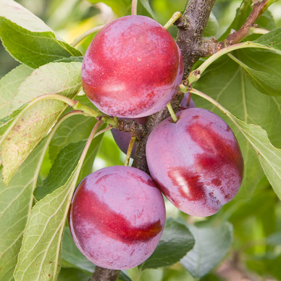 Opal is one of the finest flavoured dessert plums.