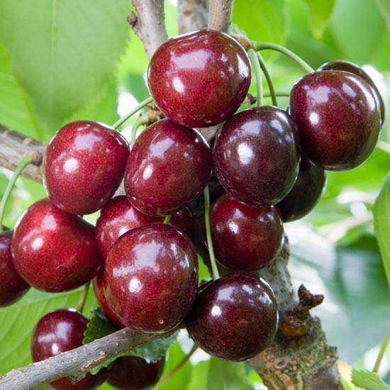 Cherry 'Penny' produces exceptionally large fruits.