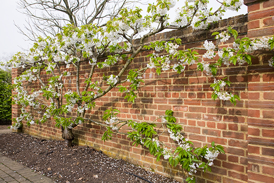 A fan trained cherry growing against a south facing wall