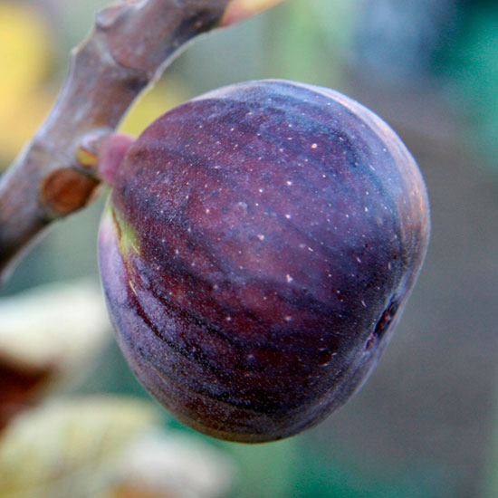 'Rouge de Bordeaux' is a delicious fig that does best in a greenhouse in cooler locations.