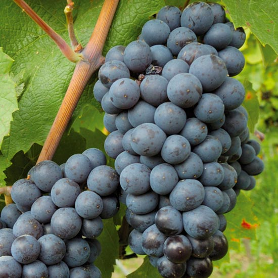'Black Hamburgh' is one of the easiest vines to grow in a cold greenhouse