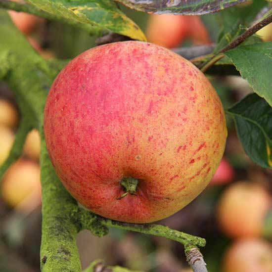 Apple-Paradice-Gold